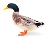 Brown duck on white. - 163839631
