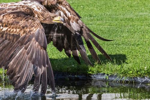 Adler an Wasserstelle