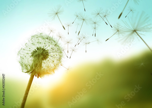 Dandelion seeds blowing in the wind across a summer field background, conceptual image meaning change, growth, movement and direction. - 163852647