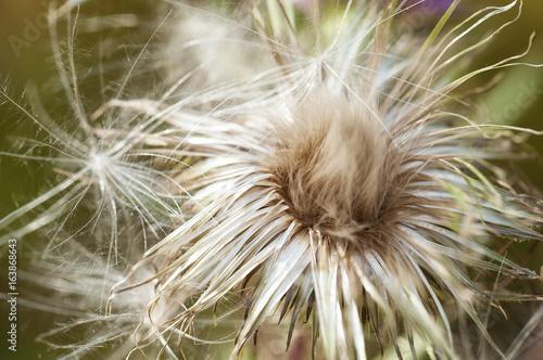 Fototapeta Thistledown Flower