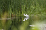 Egret with bug in beak reflected in pond - 163870630
