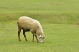 Himalayan Sheep Grazing  - 163888224