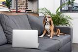funny beagle dog in eyeglasses sitting on sofa with laptop