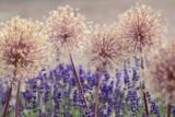 Kugellauch Fruchtstand mit Lavendel