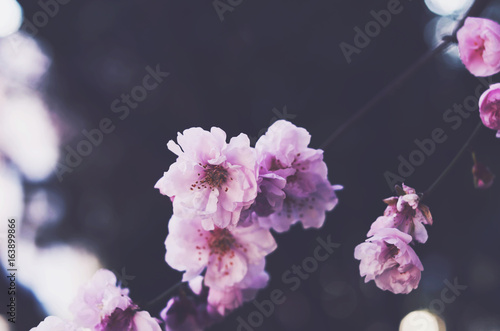 Blooming pink flowers with copy space on dark background Poster