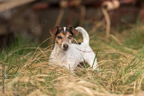 Fototapeta Hund auf landwirschaftlichem Anwesen (Hofhund)-  Jack Russell Terrier 10 Jahre alt - glatthaarig und tricolor