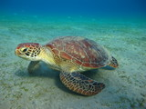 tortue marine sea turtle marsa alam