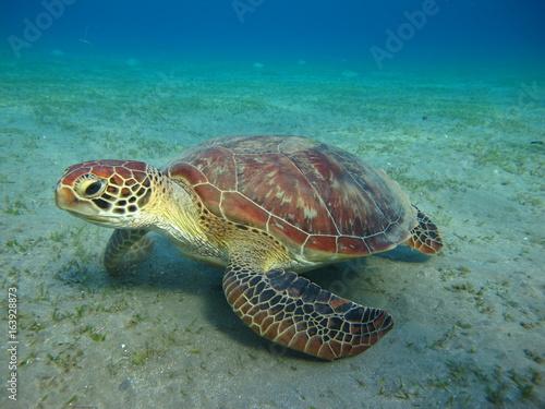tortue marine sea turtle marsa alam Poster