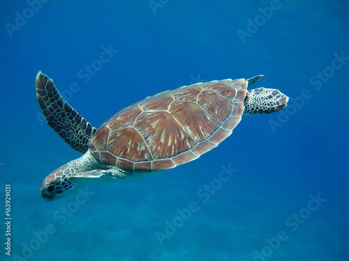 tortue marine sea turtle marsa alam - 163929031
