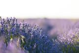 Lavendel-Meer, Provence