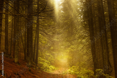Fotobehang Betoverde Bos Pine dark autumn forest in fog