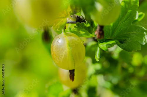 A bush of ripe yellow-green berries of gooseberry with a magnificent taste, grows in the garden in the summer.