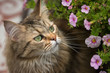 Maine Coon cat inspects the pink flowers