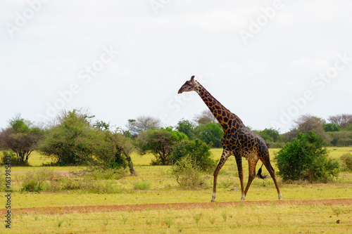 Giraffe standing in the Serengeti national park in Tanzania safari