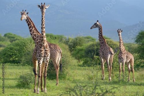 Giraffes in Savana Poster