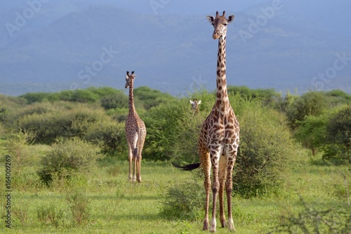 Poster Giraffe in Savana