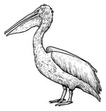 Dalmatian Pelican illustration, drawing, engraving, ink, line art, vector