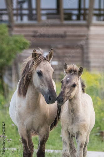 Konik Horse Mother and Child