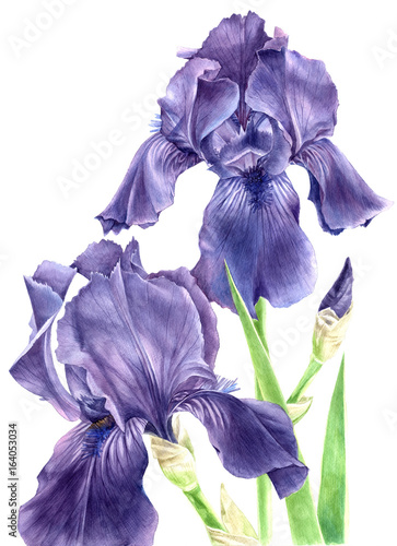 Aluminium Iris Hand drawn watercolor iris flowers