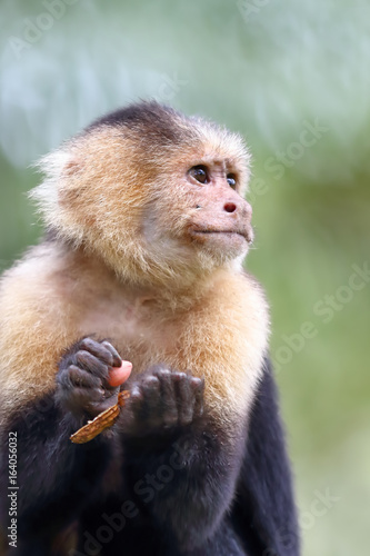 Capuchin monkey on a branch in Costa Rica