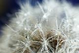 Dandelion with dew, macro