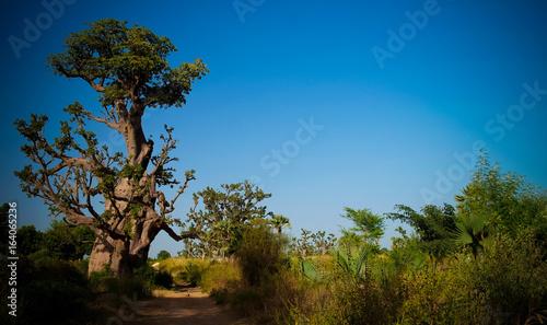 Baobab forest, Dakar, Senegal