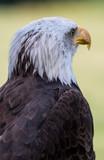 Bald eagle - 164082848