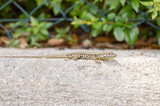 Small lizard that takes the sun on a low wall