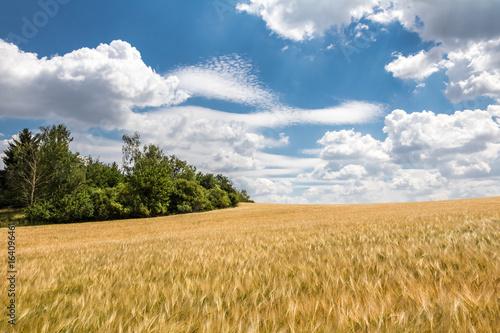 Rural summer landscape with field of corn under blue sky
