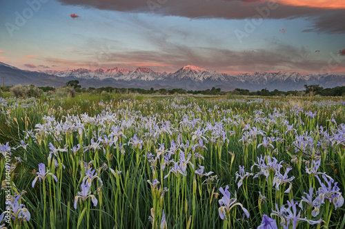 Fotobehang Iris Wild Iris Meadow