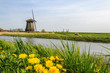 Vintage Windmill standing near a canal with yellow dandelions bloom in the grass in the foreground of West Friesland, Netherlands