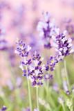 Lavender flowers. - 164101038