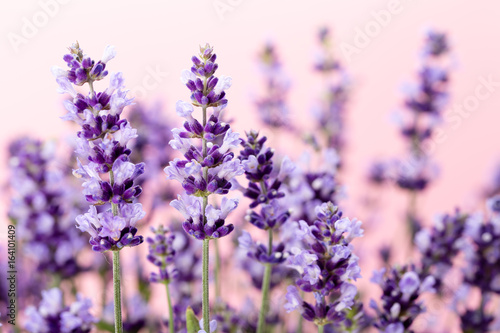 Lavender flowers.