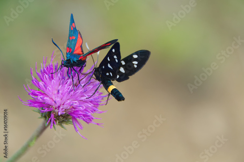 Colorful butterfly in Val d'Aveto natural park - Liguria - Italy.