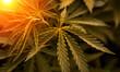 marijuana  at sunset. bush cannabis.