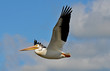 American white pelican in flight Pelecanus erythrorhynchos
