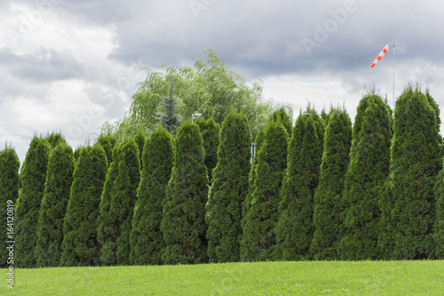 Foto op Plexiglas Wand Fragment of a rural fence hedge from evergreen plants the Thuja