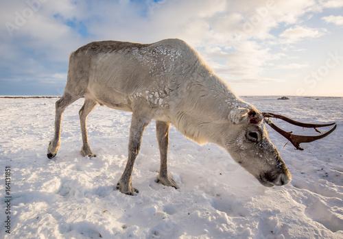 Foto op Aluminium Scandinavië Deer in the tundra, on a sunny frosty day