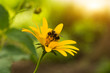 yellow summer flower with bee closeup