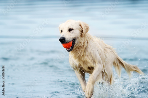 A dog runs along the beach in a spray of water, a golden retriever Poster