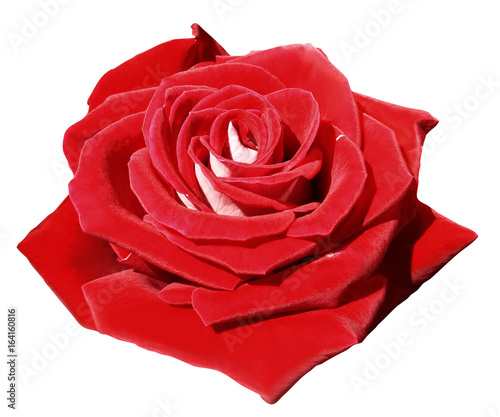 Rose red on white isolated background with clipping path. Closeup. Side view. Nature.