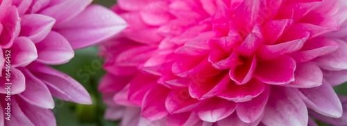 Macro shot of a pink dahlia.