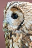 Eagle Owl with big eyes - 164187010