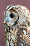 Eagle Owl with big eyes - 164187077