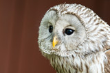 Eagle Owl with big eyes - 164187286