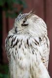 Eagle Owl with big eyes - 164187418