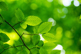green leaves background in sunny day - 164188405