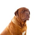 Close-up of Dogue de Bordeaux