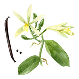 Watercolor vanilla plant - 164204031