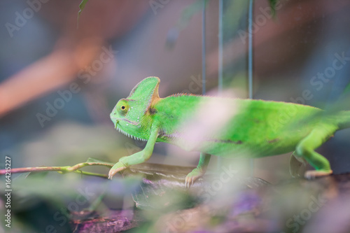 Green Chameleon sits on a branch. Zoo Of Saint-Petersburg, Russia